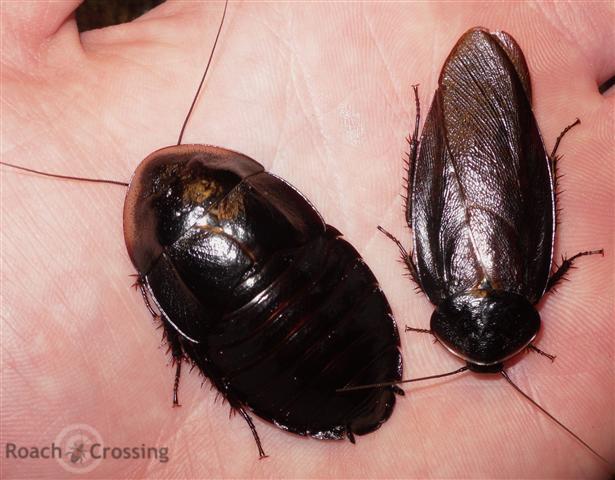 Cuban Burrowing Roach Roach Crossing